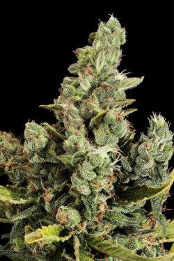 Dinafem Cheese 3 feminised seeds