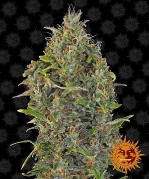 Barneys Farm Critical kush auto 3 pack