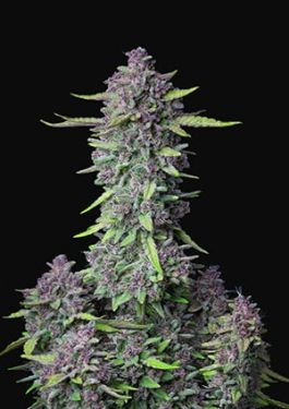 Fastbuds Purple Punch 5pk